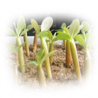Стимулятори росту