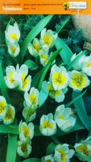 Тюльпан Turkestanica 5+ ботанич (1шт)