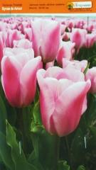 Тюльпан Synaeda Amor 10/11 тріумф (1шт)