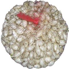 Цибуля сівок Гледстоун біла (300г)