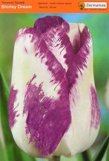 Тюльпан Shirley Dream (1шт)