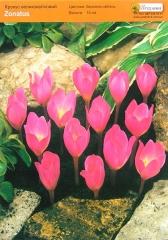 Крокус Зонатус великоквітковий