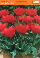 Тюльпан Double Red Riding Hood грейга