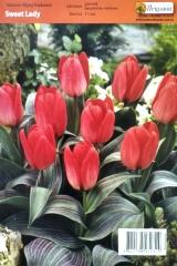Тюльпан Sweet Lady (1шт)