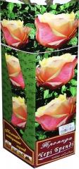 Троянда чайно-гібридна Чері Бренді АА преміум (1шт)
