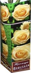 Троянда чайно-гібридна Версилія АА преміум (1шт)